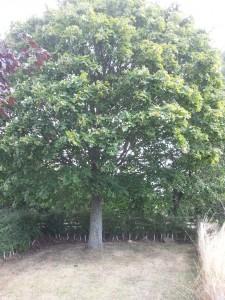 Sycamore tree2