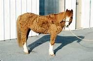 Cushing pony