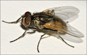 Musca fly